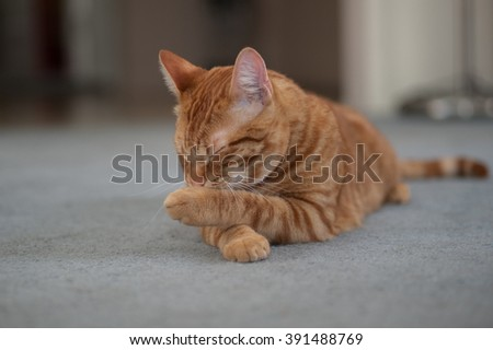 Orange Tabby cat licking his paws clean. - stock photo
