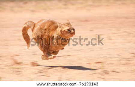 Orange tabby cat running full speed across red sand - stock photo