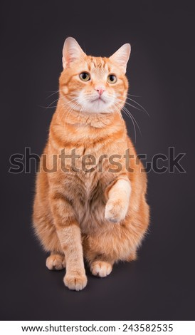Orange tabby cat sitting against dark gray background, with his paw up in air - stock photo