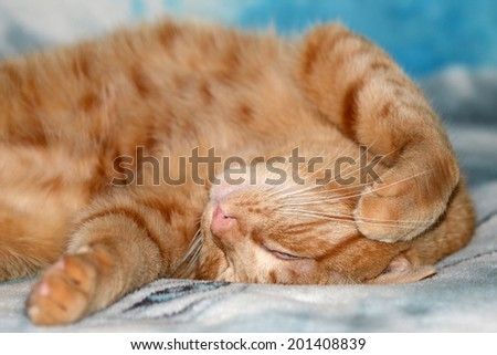 Orange tabby cat sleeping upside down on a fuzzy bed cover - stock photo