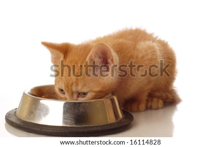 orange tabby kitten eating out of food dish - stock photo