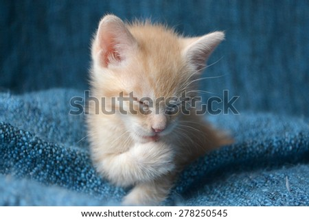 Orange tabby kitten, eyes closed licking paw, soft focus - stock photo