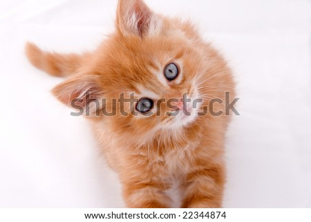 Orange tabby kitten looking at camera isolated on a white background.