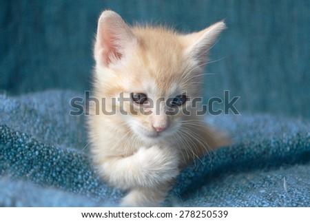 Orange tabby kitten, looking at paw, soft focus - stock photo