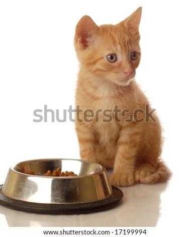 orange tabby kitten sitting beside the food bowl - seven weeks old - stock photo