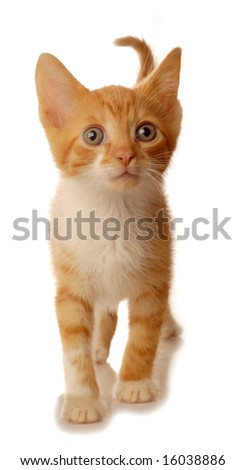 orange tabby kitten walking - isolated on white background - stock photo