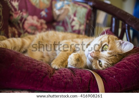Orange tabby male cat playfully lying on a purple mauve antique or vintage chair - stock photo