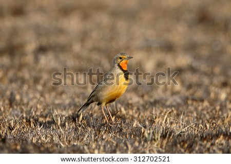 Orange-throated or Cape longclaw, Macronyx capensis, single bird on ground, South Africa, August 2015