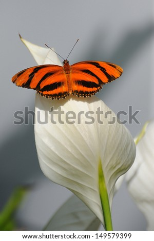 Orange Tiger Butterfly  Resting - stock photo