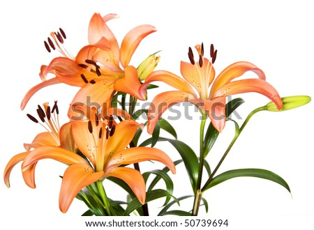 Tiger lily coupons