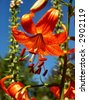 Orange Tiger Lilly - stock photo