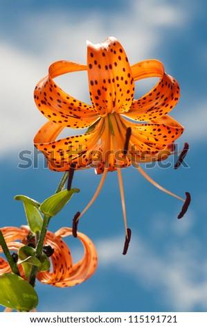 Orange Tiger Lily - stock photo