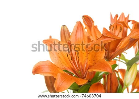 Orange tiger lily isolated on white background