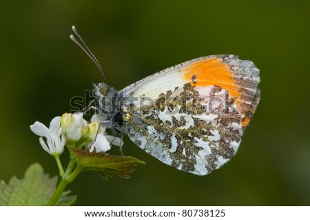 orange tip butterfly  in profile - stock photo