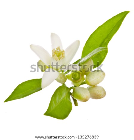 Orange tree flowers on a branch isolated on white background. - stock photo