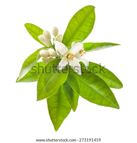 Orange tree flowers on a branch  isolated on white background - stock photo