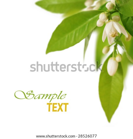 Orange tree flowers on a branch on white background. Shallow DOF. - stock photo