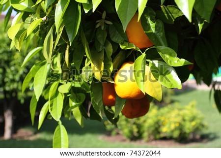Orange tree in Marrakech, Morocco, Africa - stock photo