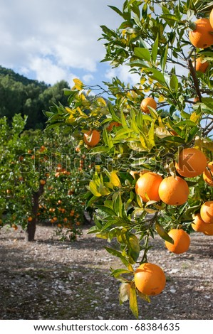 Orange tree  loaded with fresh fruit ready to pick - stock photo