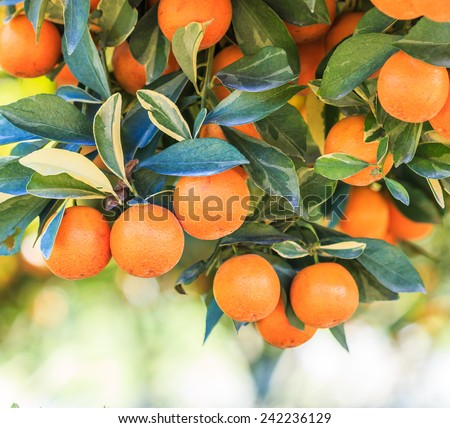 Orange tree - Orange Farm - Orange Park - stock photo