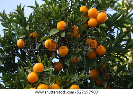 Orange tree with many fruits on the sky background.