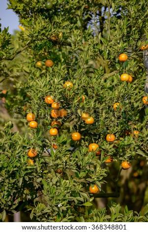 Orange tree with ripe fruits in sunlight. Citrus tree. - stock photo