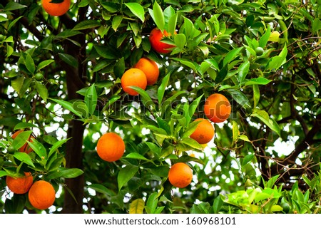 Orange tree with ripe oranges and green in the garden