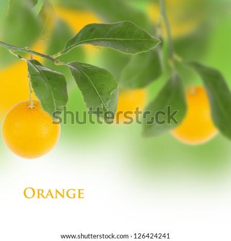 Orange tree with white background - stock photo