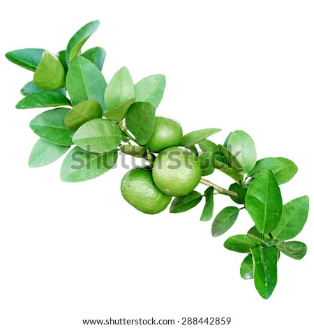 orange tree with young sweet oranges isolated on white background