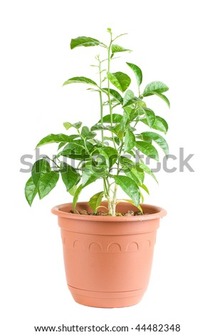 Orange Tree without fruits isolated on a wthite background