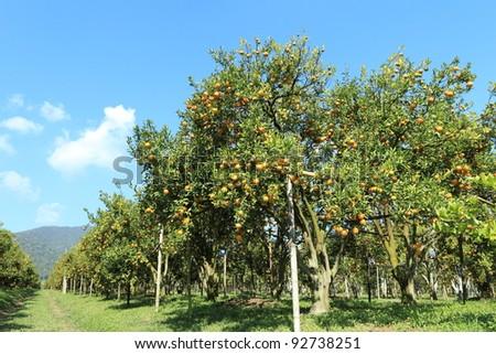 Orange trees - stock photo