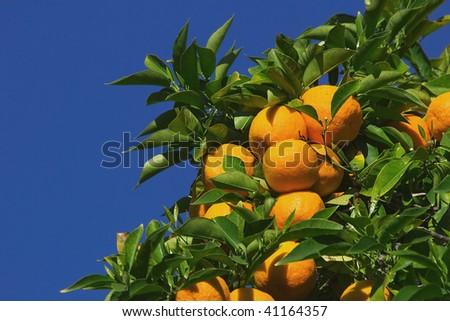 Orange Trees growing in local Sacramento Park California - stock photo