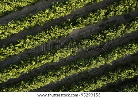 orange trees plantation aerial view - stock photo