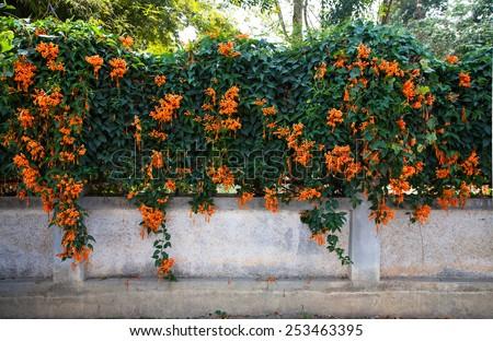 Orange trumpet, Flame flower, Fire-cracker vine on the wall - stock photo