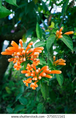 Orange Trumpet Flowers with Nature Background - Green Tone