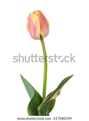 orange tulip flower, isolated on white - stock photo