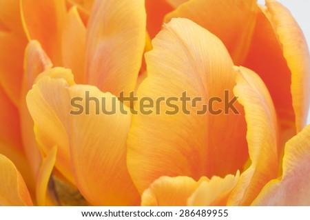 orange Tulip isolated on white background - stock photo
