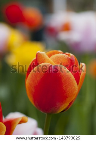 Orange Tulip with background of colourful flowers