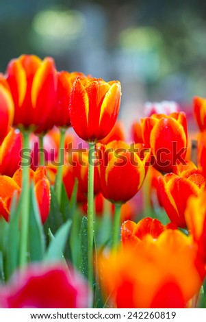 Orange Tulips flower - stock photo