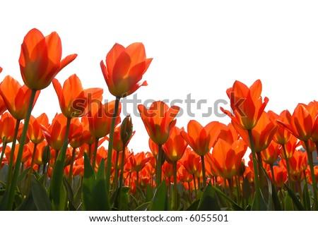 Orange tulips isolated against white - stock photo
