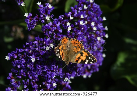 Orange, white and black Butterfly (lot's of detail) on purple and white flowers.