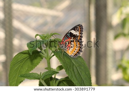 """Orange, white and black """"Leopard Lacewing"""" butterfly in Innsbruck, Austria. Its scientific name is Cethosia Cyane, native from India to China. (No Photoshop, see my other butterfly images) - stock photo"""
