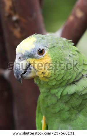 Orange-Winged Amazon Parrot Portrait - Amazona amazonica - stock photo