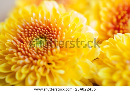 Orange-yellow Chrysanthemum flowers - stock photo