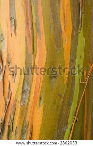 Orange, yellow, green, and brown colors are exposed as the eucalyptus tree sheds it's outer layer of bark.
