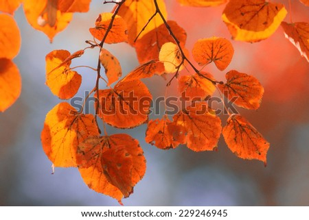 orange yellow leaves on a branch concept autumn - stock photo