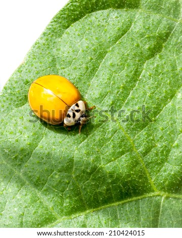 Orange yellow multi-colored Asian Ladybug or ladybird beetle(Harmonia axyridis) with no spots on green bean leaf - stock photo