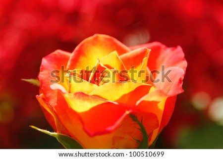 Orange yellow rose glowing in sunlight with red colored blurred background - stock photo