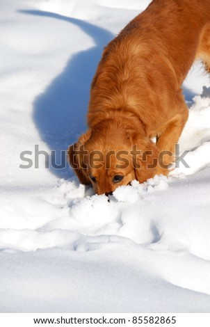 orange young golden retriever dog sniffing at snow - stock photo