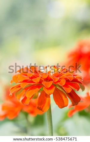 Orange zinnia flower, in soft blurred style, with space for text, on green leaves blur background, macro. Vertical image.